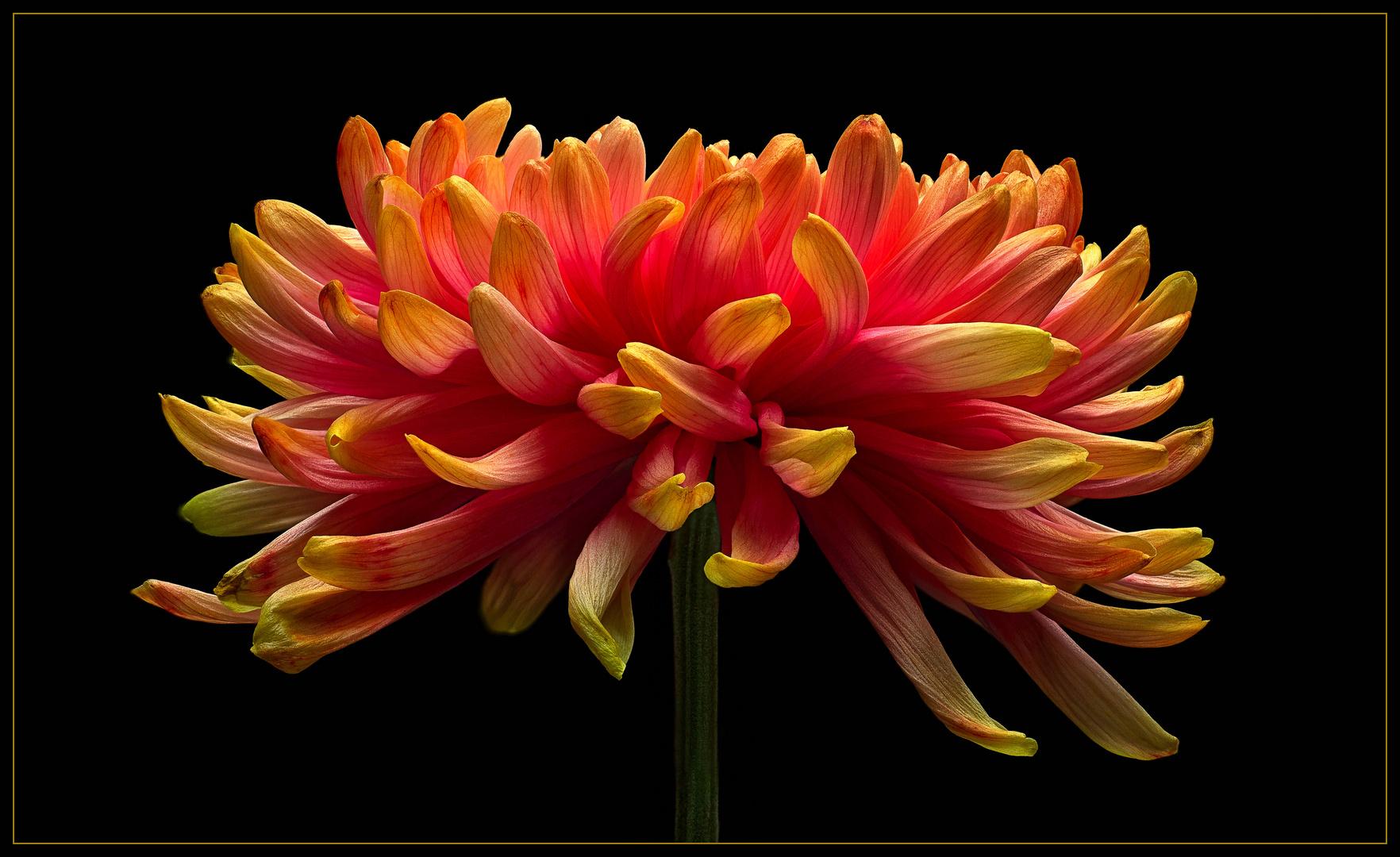 Chrysanthemen sind beliebte Schnittblumen .. auch in der winterlichen Zeit