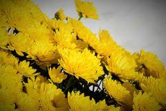 Chrysanthemen2