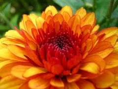 Chrysanthemenfeuer