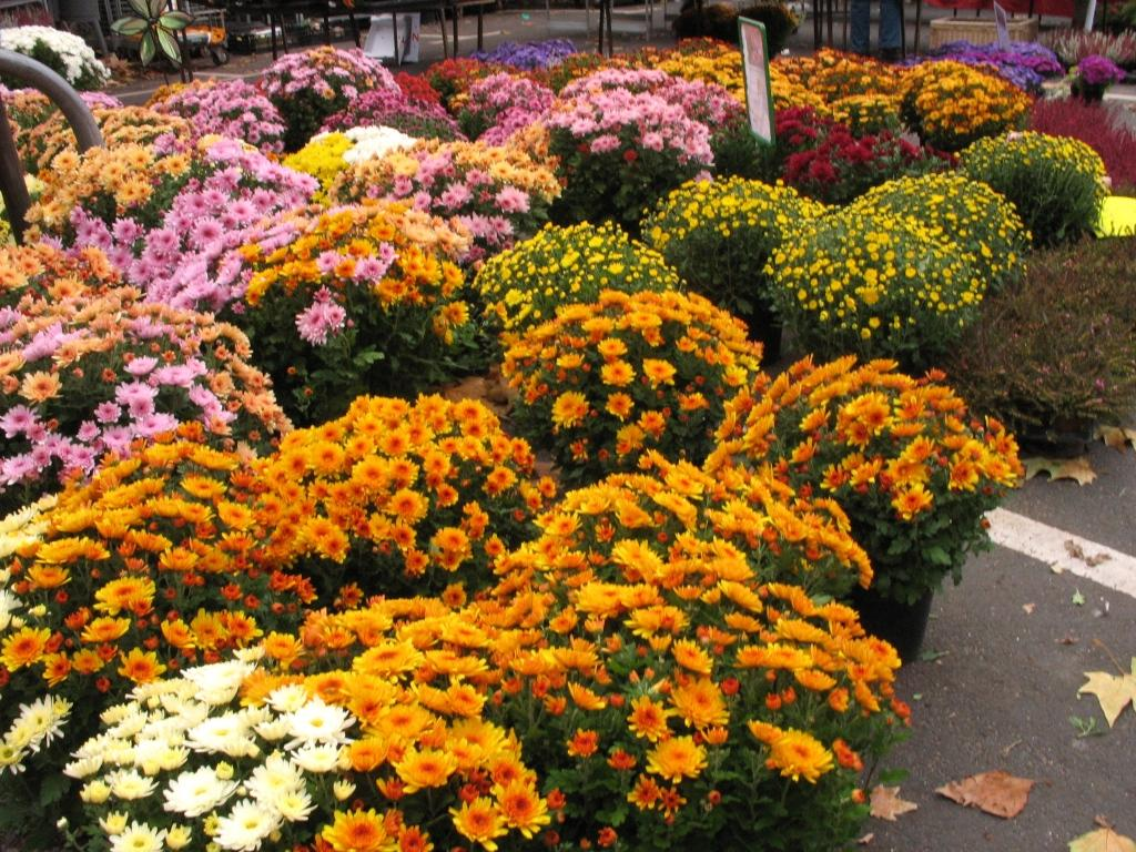 Chrysanthemeträume....