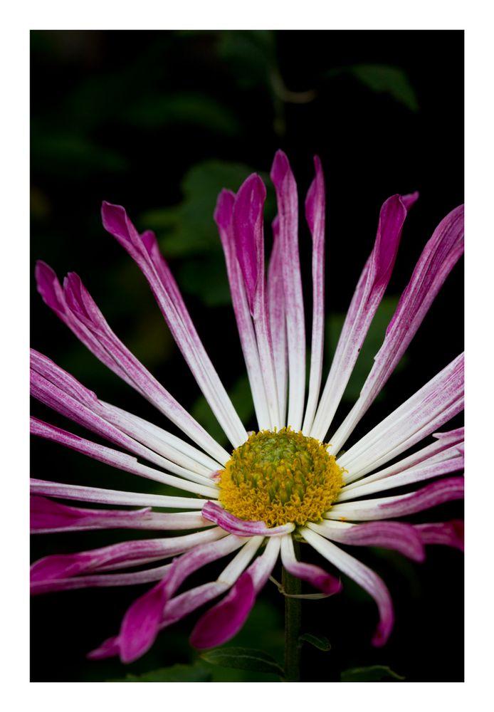 Chrysanthemum-4