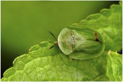 Chrysomèle, Cassida viridis