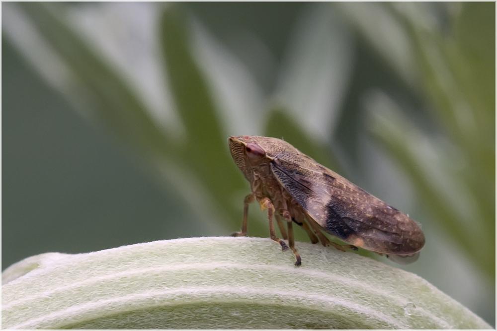 Cicadelle (Aphrophora alni )