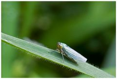 Cicadelle_01