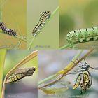 ciclo ciclo riproduttivo Papilio Macaon