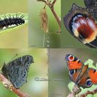 ciclo riproduttivo farfalla Pavone