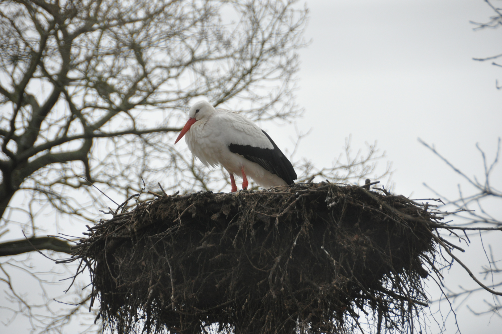 Ciconia ciconia - im Nest auf Föhr