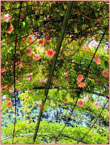 Ciel de roses