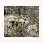 Ciervo entre las jaras. (Sierra de Andújar)