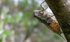 Cigale marseillaise (2)