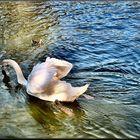 Cigno bianco nuota