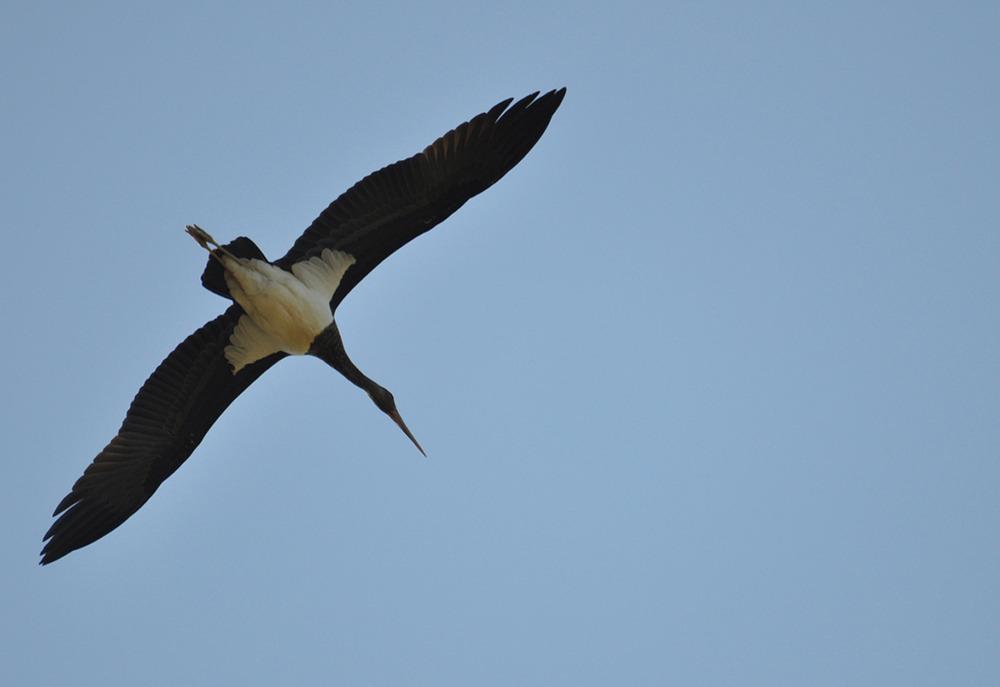 Cigogne noire en vol