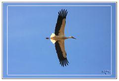 Cigüeña blanca sobrevolando