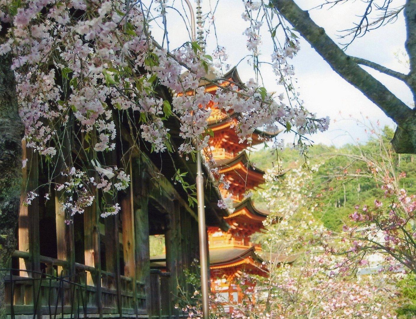 cilieggi in fiore e pagoda a miyajima Giappone