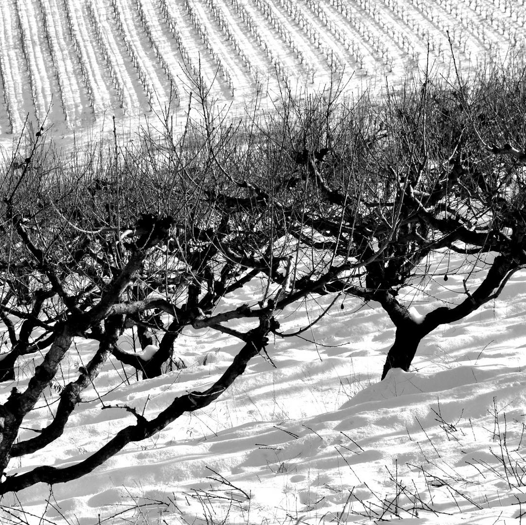 ciliegi nella neve