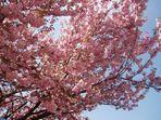 """""""Ciliegio giapponese""""... Al vertice del suo splendore....."""