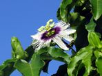 Cinola-Blüte