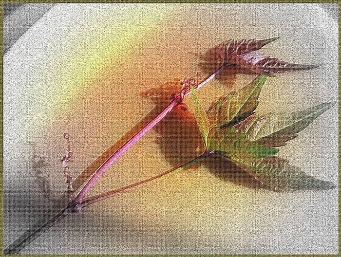 Cinquefolia ( Virginia Creeper)