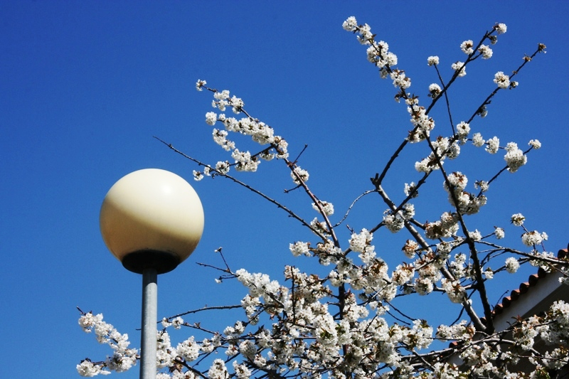 cirerer florit // cerezo florecido