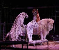 Cirkus Krone gemischte Raubtiergruppe.