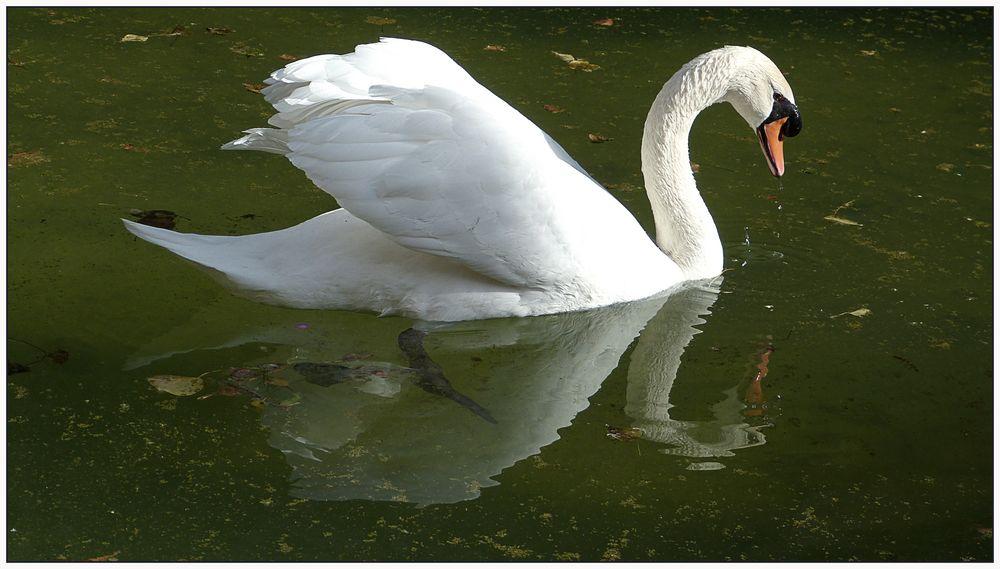 Cisne de Palma