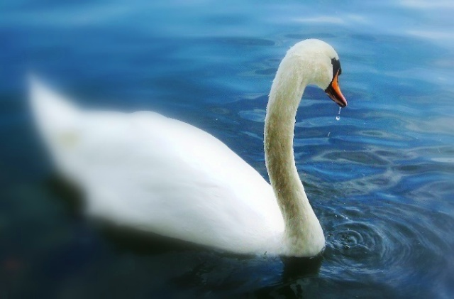 Cisne en Puigcerda