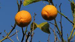 Citron sur Ciel d'Azur - Zitrone auf Himmelsblauhimmel à MENTON (06)