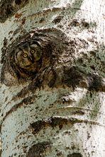 Civetta capogrosso
