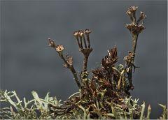 Cladonia cervicornis subsp. verticillata