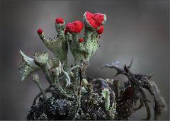 Cladonia coccifera ...