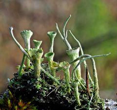 Cladonia fimbriata (Trompeten-Becherflechte)