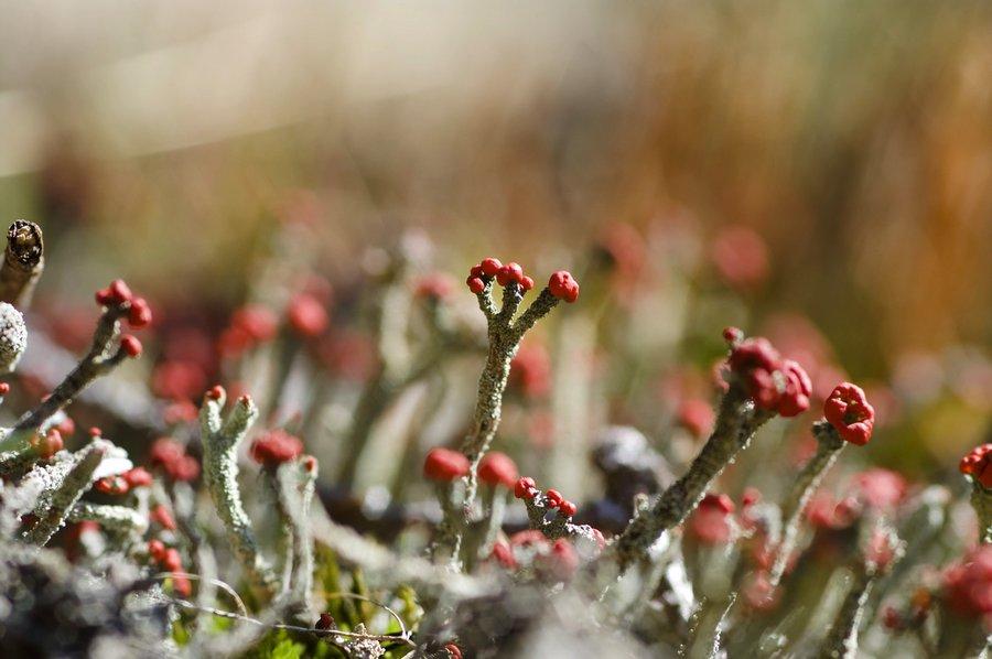 Cladonia floerkeana - reload