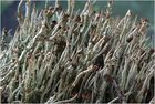 Cladonia und ihre wilde Horde ...!
