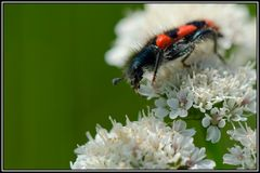 Clairon des abeilles (Tricodes apiarius)