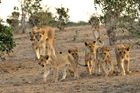 Clan der Löwen