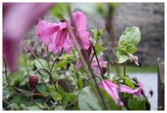 Clematis at the Watermill