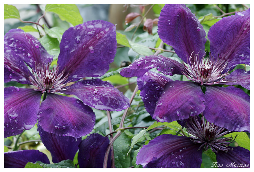 Clematis im Regen