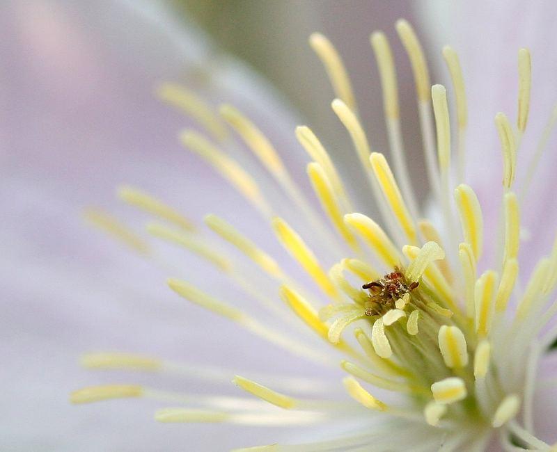 Clematis in der Blüte