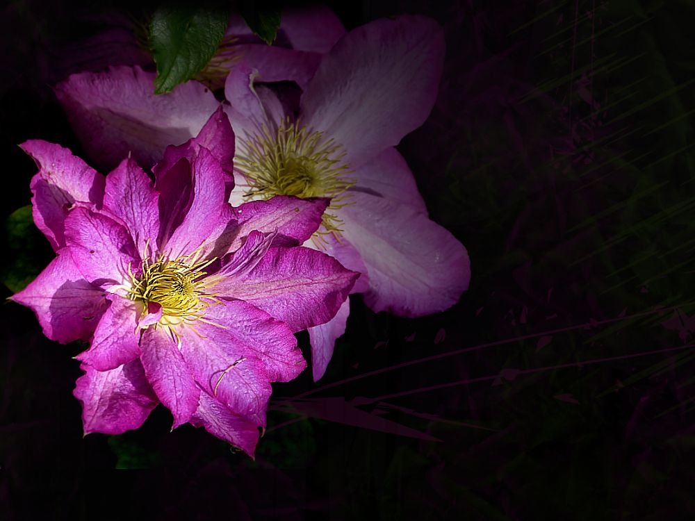 Clematis of Normandy