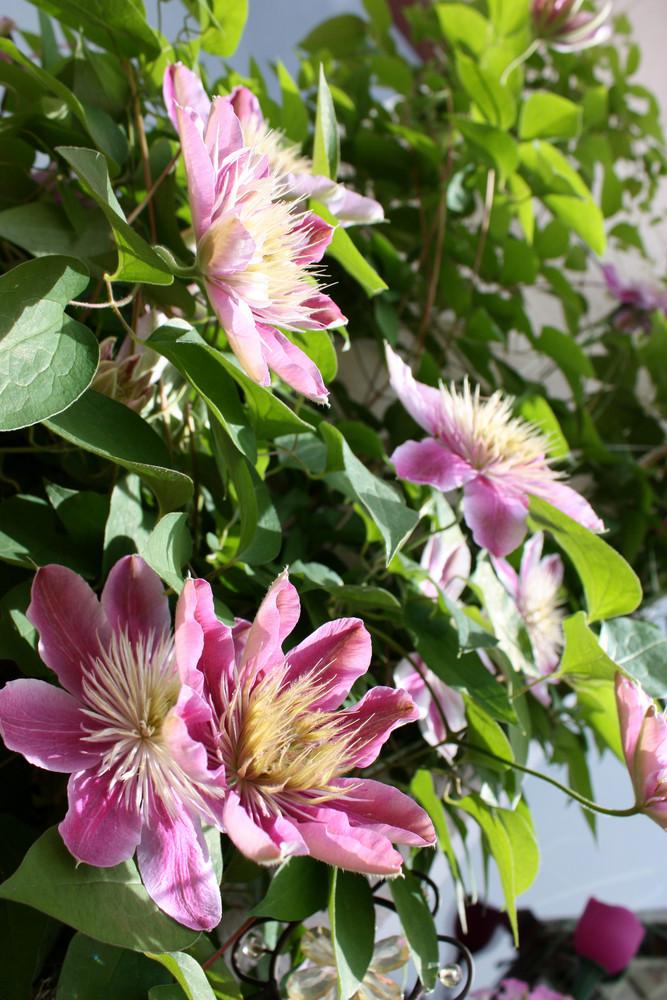 Clematisblüten von der Terasse