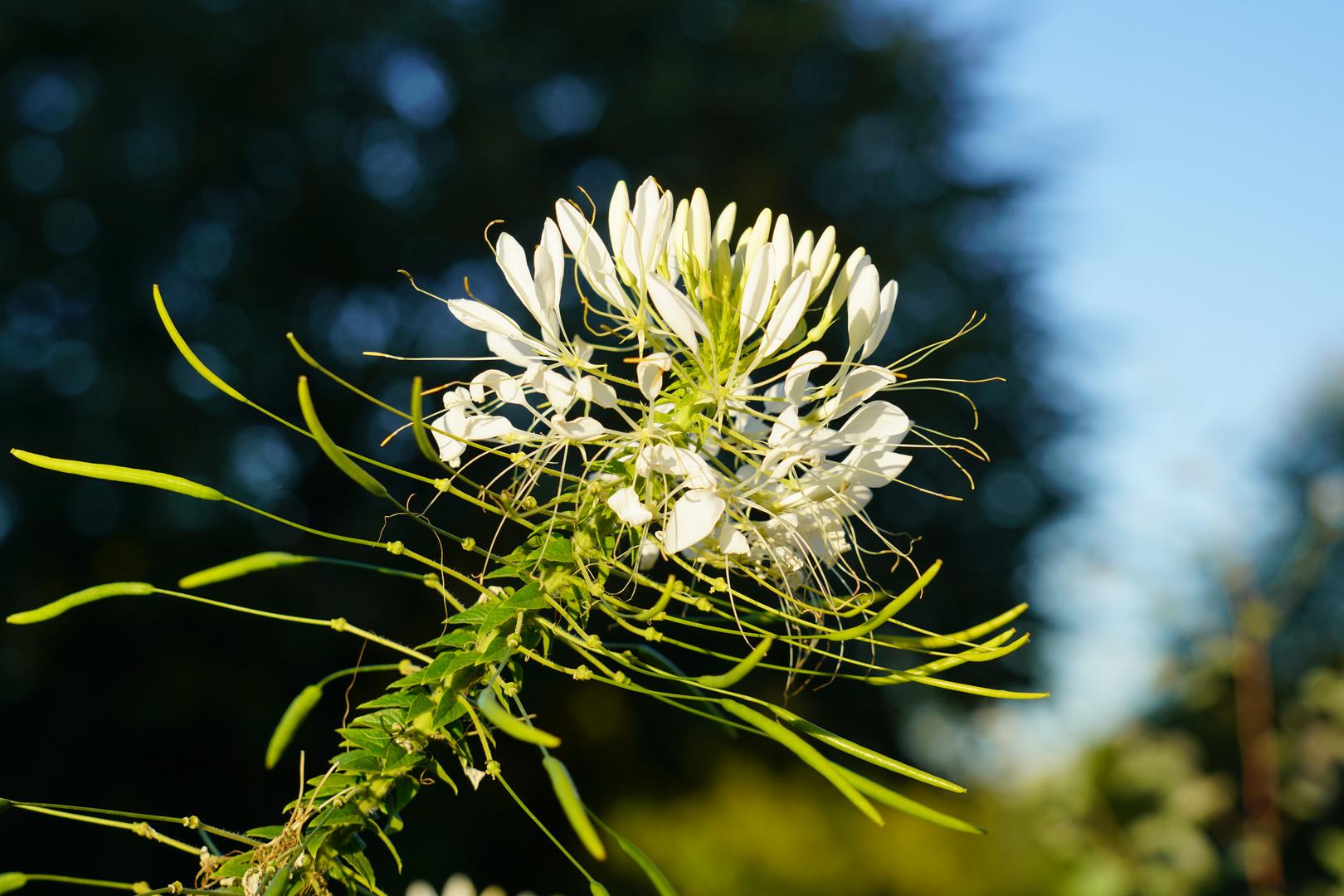 Cleome - Spinnenpflanze