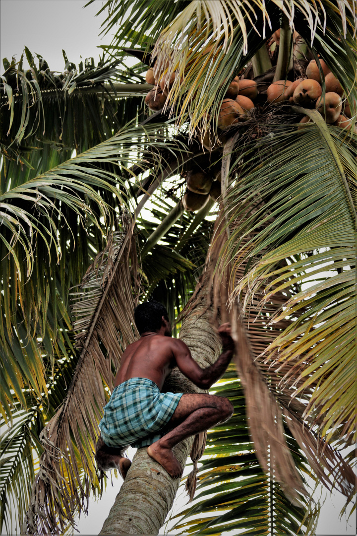 Climbing the Coconut tree!