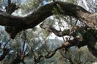 Clin d'oeil du Mont Coudon au travers des oliviers.