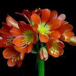 Clivia miniata first flowers..............