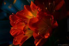 Clivia Orange Farbsättigung