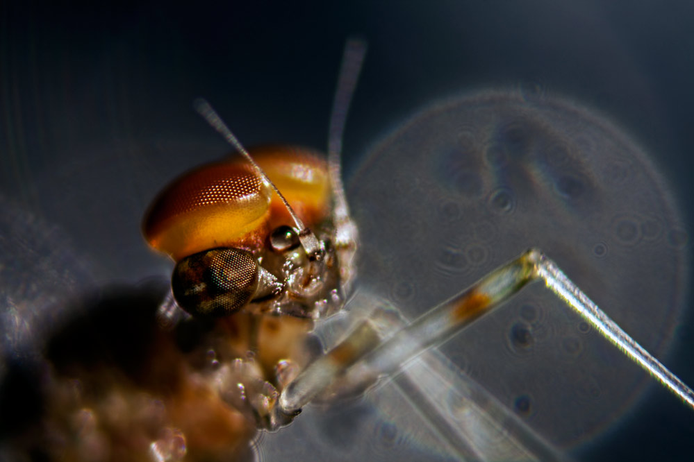 Cloeon dipterum (M) - Mikroskopaufnahme