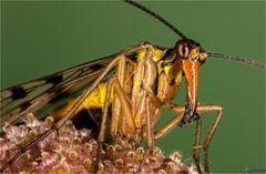 Close-up Skorpionsfliege