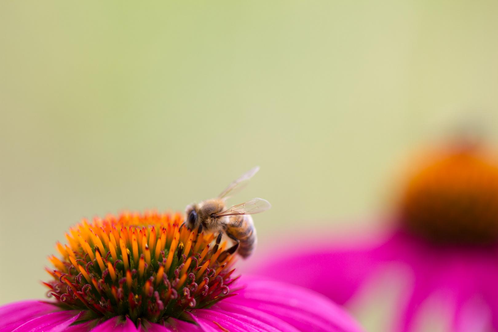 Closeup of a Honeybee on a Purple Coneflower - Honigbiene auf Sonnenhut