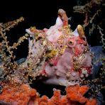 Clown-Anglerfisch umgeben von bunten Schwämmen und Hydrozoen – Part 1