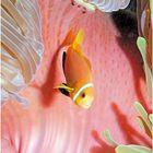 clown et anemone